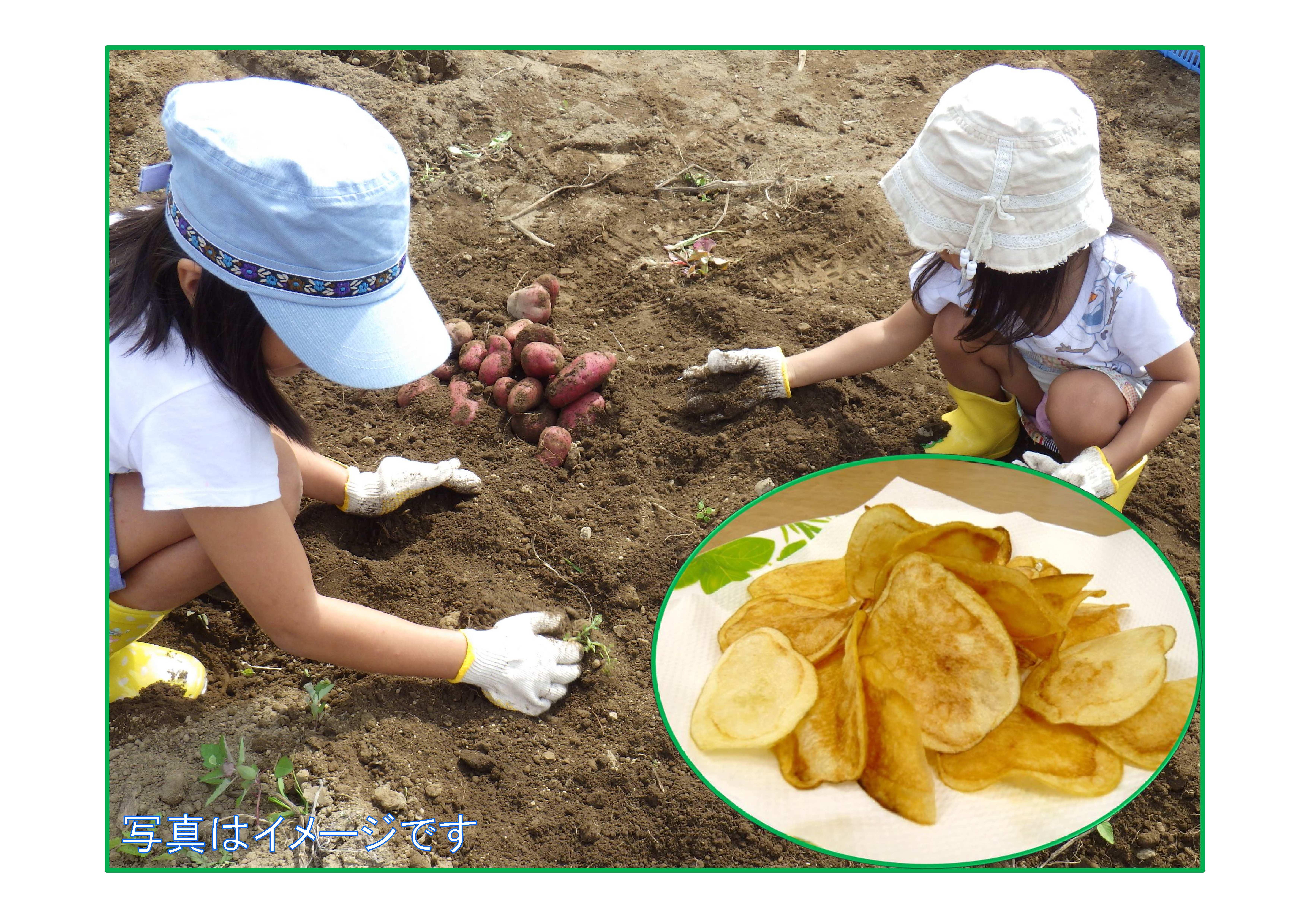 じゃがいもを収穫してポテトチップスを作ろう