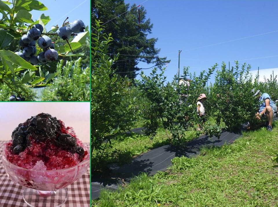ブルーベリーを収穫してかき氷シロップを作ろう