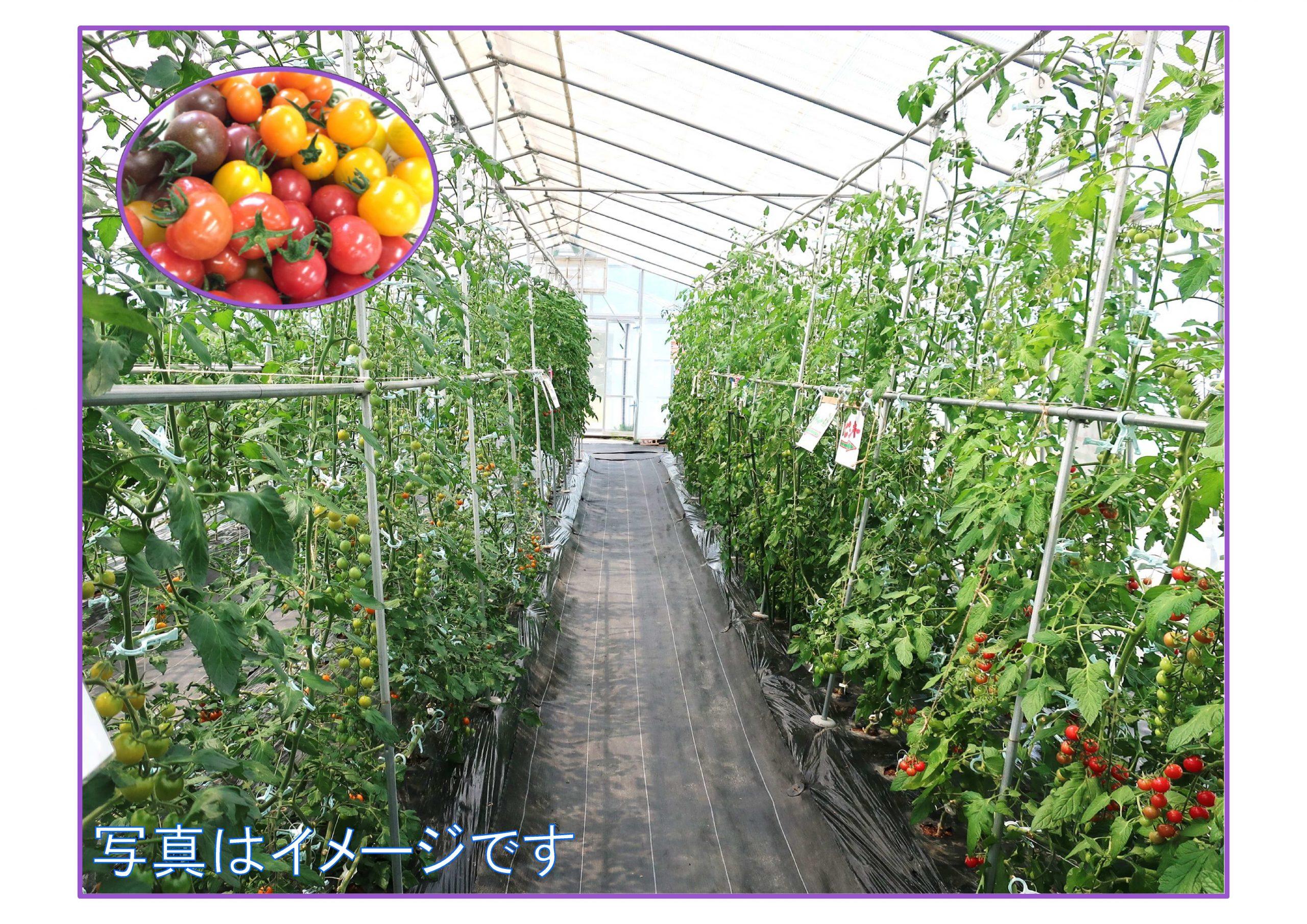 ビニールハウスでミニトマトを収穫しよう